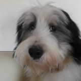 Dori (Bearded Collie)