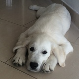 LANCELOT - Golden Retriever