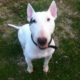 Toco (Bull Terrier)