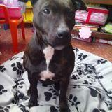 Lua (Staffordshire Bull Terrier)