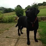 Harvey (Labrador Retriever)