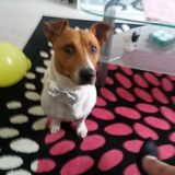 Gus (Jack Russell)