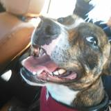 Drako (Staffordshire Bull Terrier)