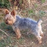 Toñín (Yorkshire Terrier)