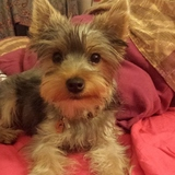 Glinglin  (Yorkshire Terrier)