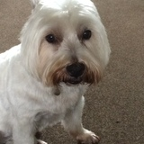Holly (West Highland White Terrier)