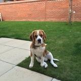 Stan (Beagle)