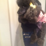 Coco (Toy Poodle)