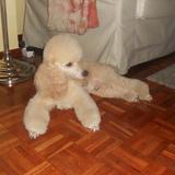 Bruno (Caniche Enano)