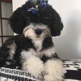Puppy - Mestizo