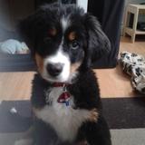 Barney (Berner Sennenhund)