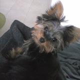 Chiki (Yorkshire Terrier)