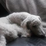 Moritz (Pudel)