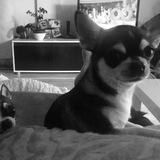 Hulk (Chihuahua)