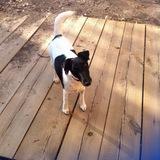 Lisa (Fox Terrier De Pelo Liso)