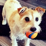 Molly (Jack Russell Terrier)