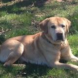 Ray (Labrador Retriever)