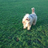 Fagin (Bearded Collie)