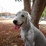 Marcelito (Bedlington Terrier)
