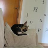 Jax - Chihuahua