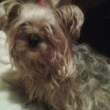 NANY - Yorkshire Terrier