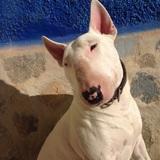 Toro (Bull Terrier)