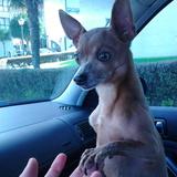 Ardilla - Chihuahua