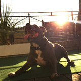 Vinnie (Staffordshire Bull Terrier)
