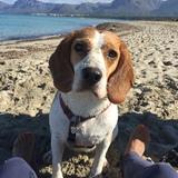 Chloe (Beagle Harrier)