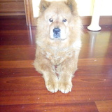 Guinger (Chow Chow)