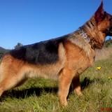 Victor (German Shepherd Dog)