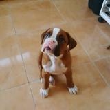Janis (Boxer)