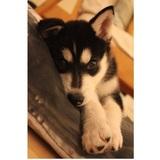 Sasha (Siberian Husky)