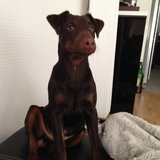 Jump (Terrier De Chasse Allemand)