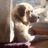Bruno (Golden Retriever)