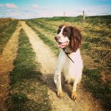 Django (English Springer Spaniel)