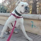 Pelucho (Boxer)