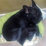 Lana - Bulldog Francés