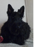 Luther (Scottish Terrier)