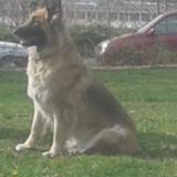 Chiqui (Berger Allemand)