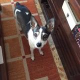 Bonnie (Fox Terrier De Pelo Liso)