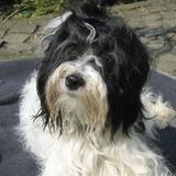 Abigail (Tibet Terrier)
