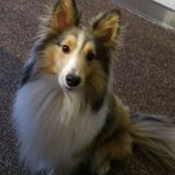 Sam (Sheltie)