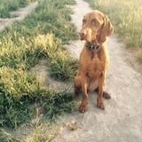 Paula (Kurzhaariger Ungarischer Vorstehhund)