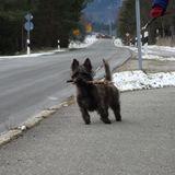 Watson (Cairn Terrier)