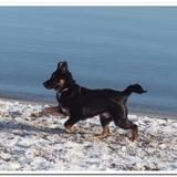 Atlaua (Mexikanischer Nackthund)