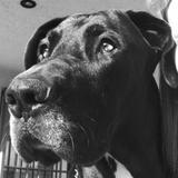 Naia (Bulldog Español)