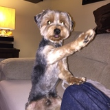 Tito (Yorkshire Terrier)