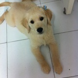 CARA - Golden Retriever