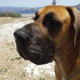 Hermes (Dogue Allemand)